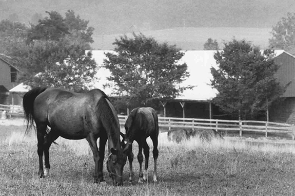 Maternal bliss at Orebanks, her place of birth, Twixt foaled the Smarten filly Twirlabout in May 1988. Twirlabout became the dam of stakes winner Vodka. (Neena Ewing photo)